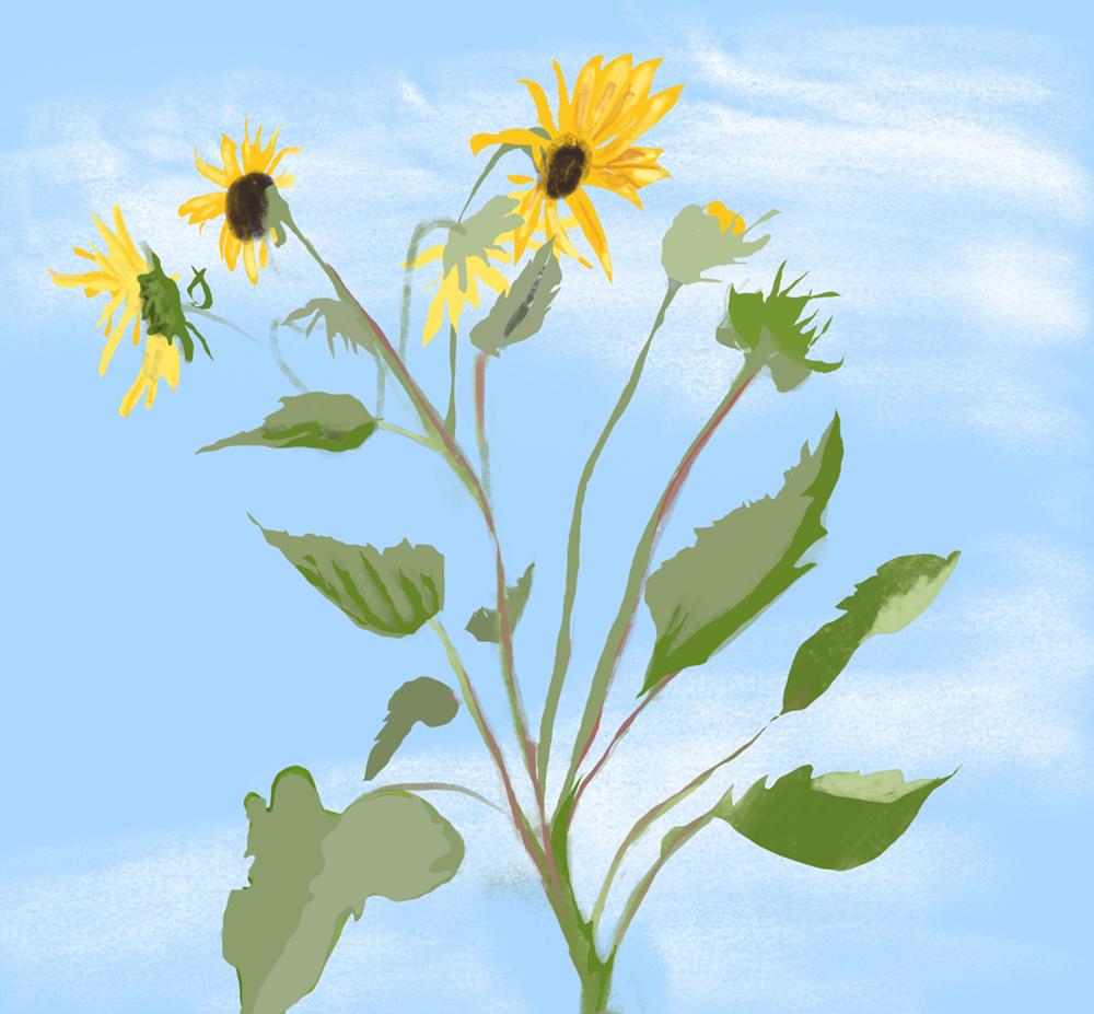 2020_0711 Tall Sunflowers sm